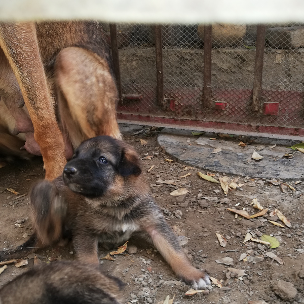 Alsation - Dog - Buy and Sell Pets in Lahore