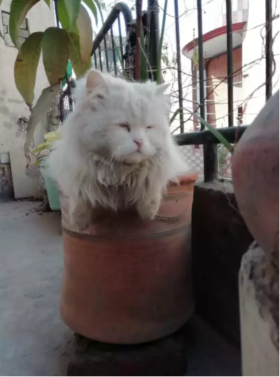 Chilton - kitten for sale - Cat - Buy and Sell Pets in Lahore