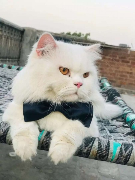 Mr.Tom - Cat - Buy and Sell Pets in Lahore