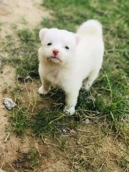 Russian puppys - Dog - Buy and Sell Pets in Islamabad