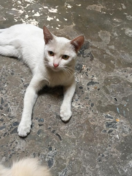 NIKI - Cat - Buy and Sell Pets in Lahore