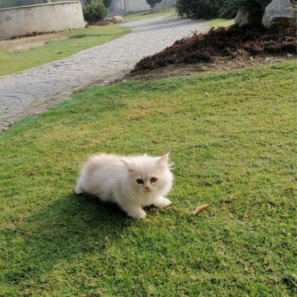 Nena - Cat - Buy and Sell Pets in Lahore