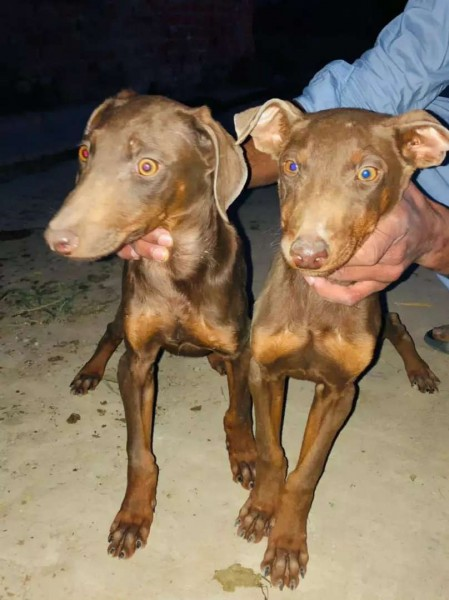 Doberman - Dog - Buy and Sell Pets in Gujrat
