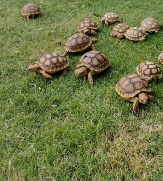 African sulcata tortoise - Turtles & Tortoise - Buy and Sell Pets in Karachi