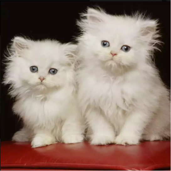 Trenus - persian - buy cat online - Cat - Buy and Sell Pets in Gujranwala