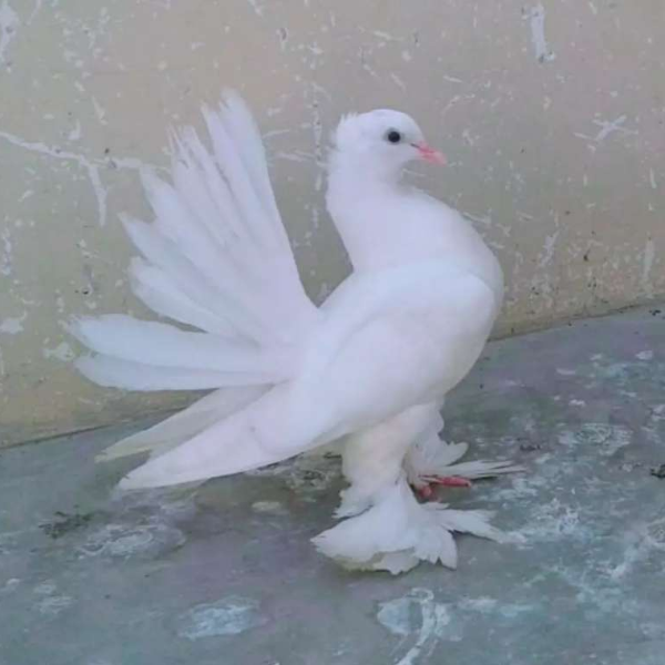 Fantail pigeon - Bird - Buy and Sell Pets in Karachi