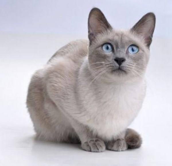 Lilac Ragdoll - Cat - Buy and Sell Pets in Lahore