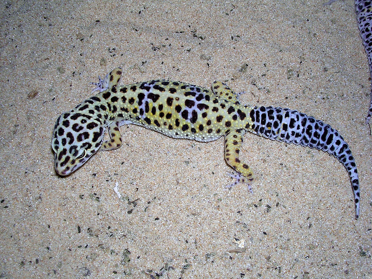 Gecko Leopard Lizard - Lizards & Iguana - Buy and Sell Pets in Lahore