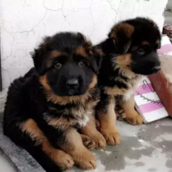 pup- puppy for sale - Dog - Buy and Sell Pets in Lahore