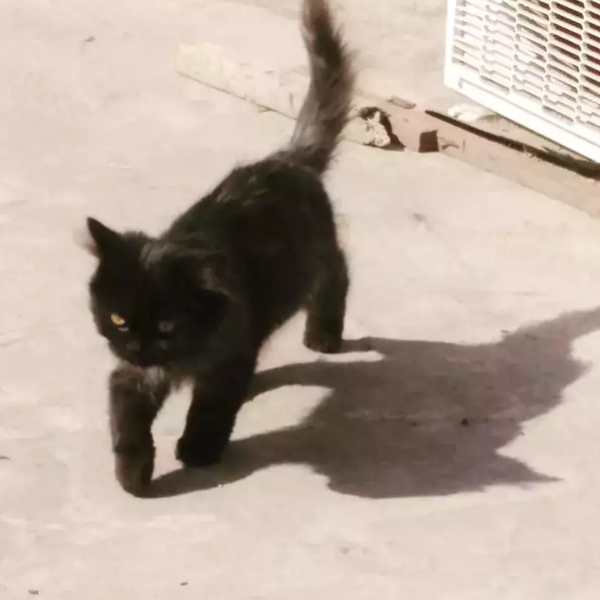 Scout - Cat - Buy and Sell Pets in Sialkot City, Pakistan