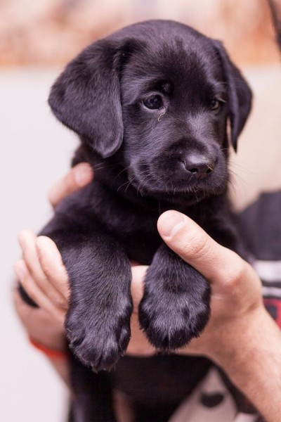 Labrador Retriever - Dog - Buy and Sell Pets in Lahore