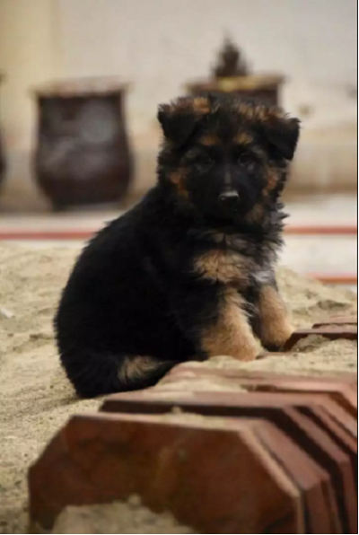 pup-puppy for sale - Dog - Buy and Sell Pets in Rawalpindi