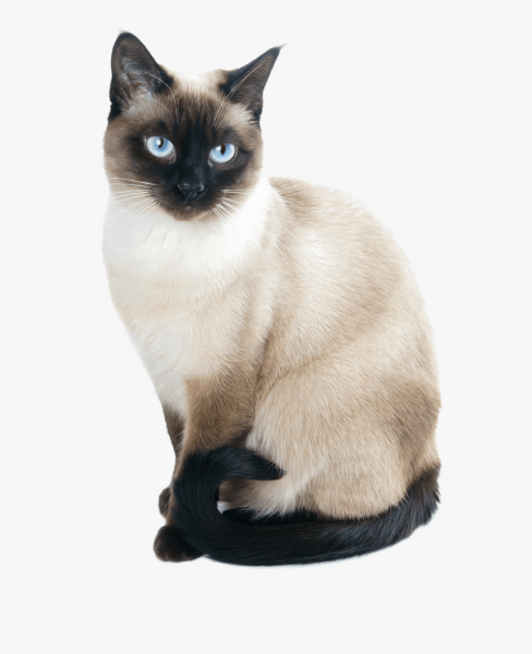 meezer - Cat - Buy and Sell Pets in Lahore