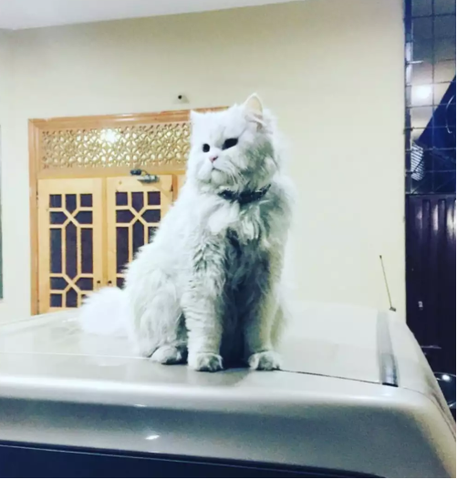 Daley - persian - buy cat online - Cat - Buy and Sell Pets in Lahore