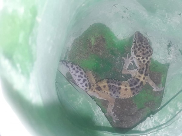 Gecko Lizard - Lizards & Iguana - Buy and Sell Pets in Peshawar