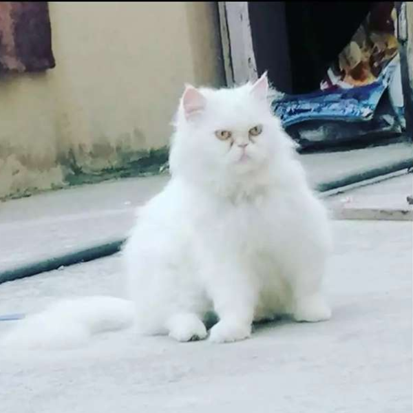 Persian Cat Cat Buy And Sell Pets In Rawalpindi Pakistan