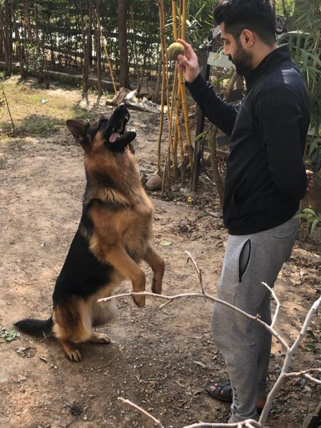 German shepard - Dog - Buy and Sell Pets in Faislabad