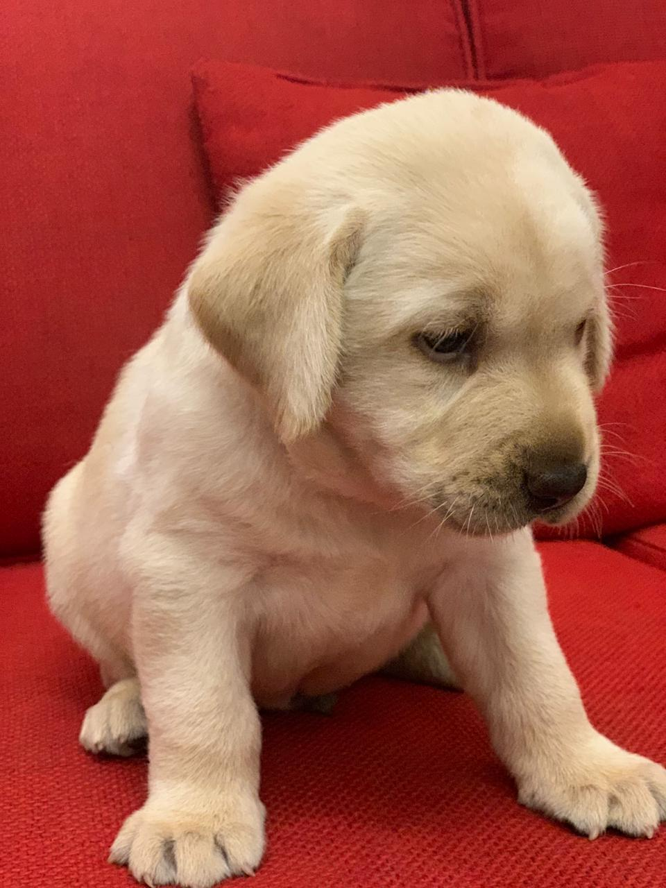 Labrador Female Puppy For Sale in Lahore - Dog - Buy and Sell Pets in Lahore