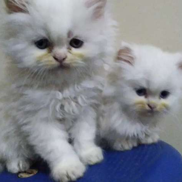 Pure Persian kitten - Cat - Buy and Sell Pets in Rawalpindi