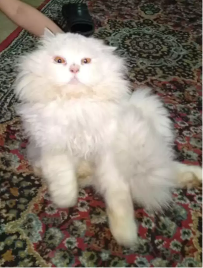 Kahn - persian - buy kitten online - Cat - Buy and Sell Pets in Lahore