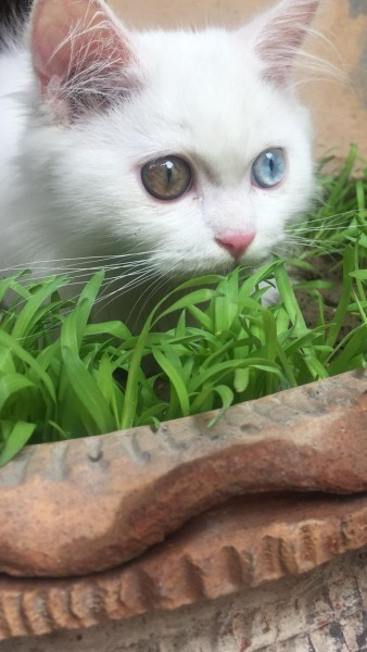 Dexter - Cat - Buy and Sell Pets in Lahore