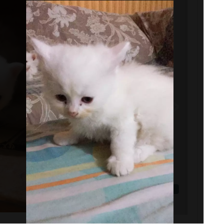 Saul - kitten for sale - Cat - Buy and Sell Pets in Lahore