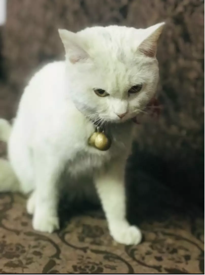 Zeph  - kitten for sale - Cat - Buy and Sell Pets in Lahore