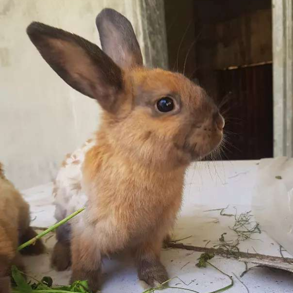 Angora rabbits - Rabbit - Buy and Sell Pets in Lahore