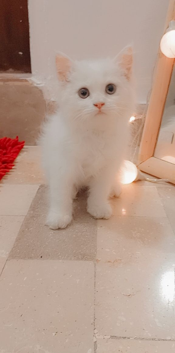 Persian - Cat - Buy and Sell Pets in Karachi