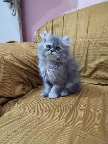 Persian - Cat - Buy and Sell Pets in Lahore