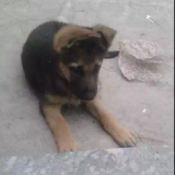 pup- puppy for sale - Dog - Buy and Sell Pets in Faislabad