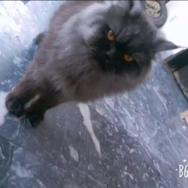 Kuble - cat for sale - Cat - Buy and Sell Pets in Lahore