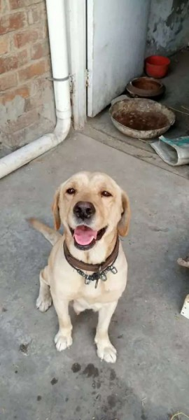 labrador - Dog - Buy and Sell Pets in Lahore