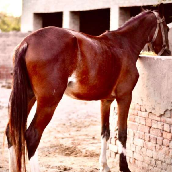 Desi Horse - Horse - Buy and Sell Pets in Jhang Sadr