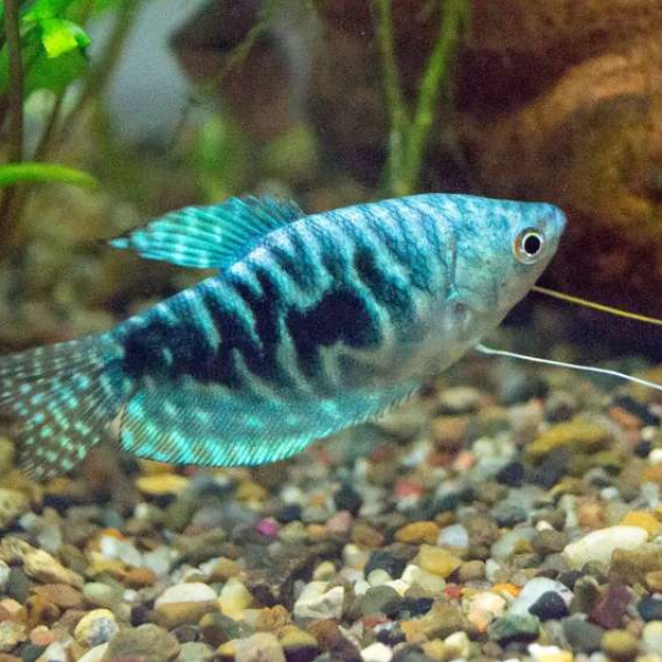 Blue Gourami fish pair - Fish - Buy and Sell Pets in Lahore