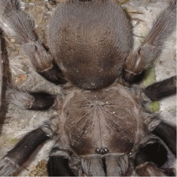 Wolf Spider - Other - Buy and Sell Pets in Abbottabad