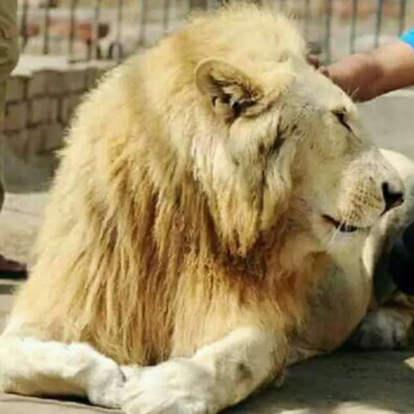 Lion Cub - Lion - Buy and Sell Pets in Multan