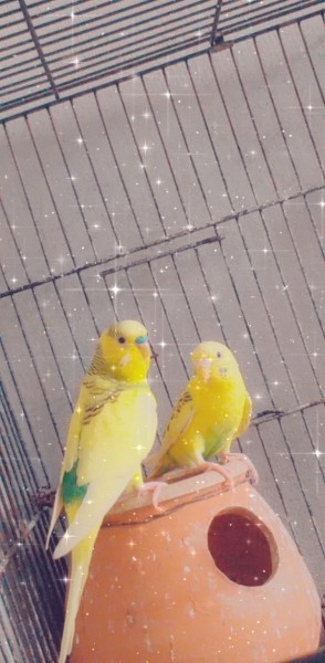 Australian parrot - Bird - Buy and Sell Pets in Lahore