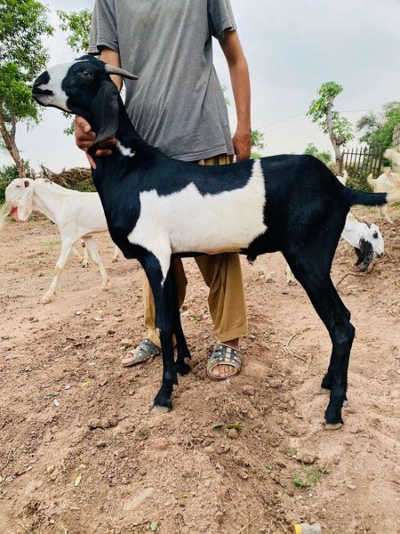 Bakra sale - Goat & Lamb - Buy and Sell Pets in Islamabad