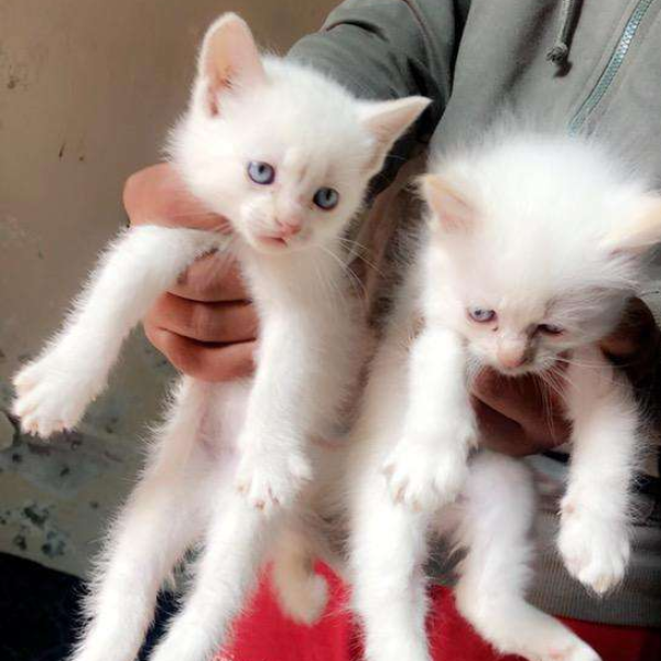 Persian kittens - Cat - Buy and Sell Pets in Gujrat