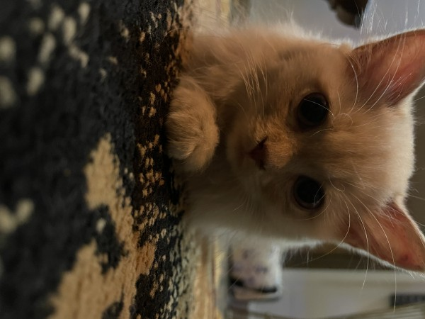 Persian Cat - Cat - Buy and Sell Pets in Lahore