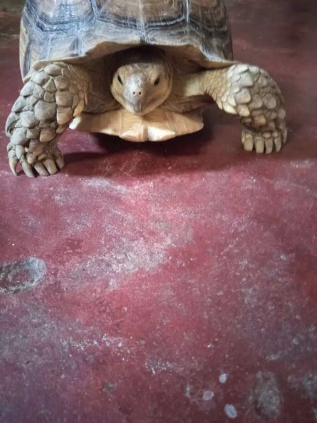 African turtle - Turtles & Tortoise - Buy and Sell Pets in Karachi