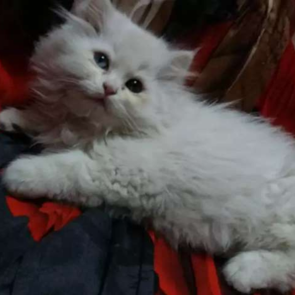 Percian cat - Cat - Buy and Sell Pets in Sialkot City