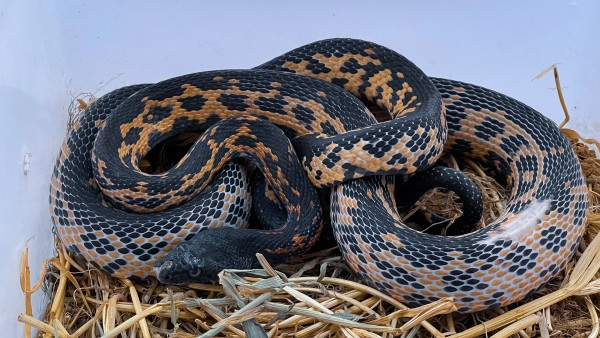 Snake - Snakes - Buy and Sell Pets in Lahore