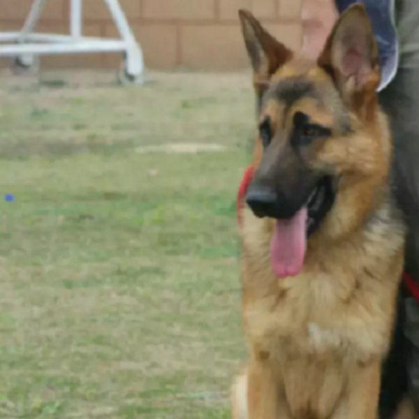 jojo-German Shepard dog - dog for sale - Dog - Buy and Sell Pets in Lahore