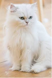 Persian Female Cat - Munni For Sale in Lahore - Cat - Buy and Sell Pets in Lahore