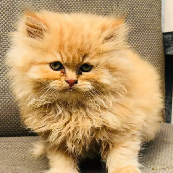 Edmond - kitten for sale - Cat - Buy and Sell Pets in Lahore