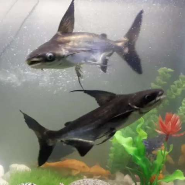 Sharks - Fish - Buy and Sell Pets in Lahore