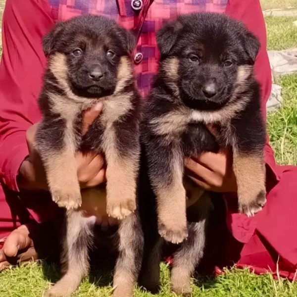 Pure gsd double coat pair - Dog - Buy and Sell Pets in Islamabad