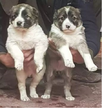 pair/dog - Dog - Buy and Sell Pets in Islamabad, Pakistan